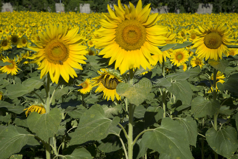 A field of sunflowers royalty free stock photography