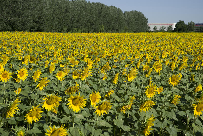 A field of sunflowers royalty free stock photos