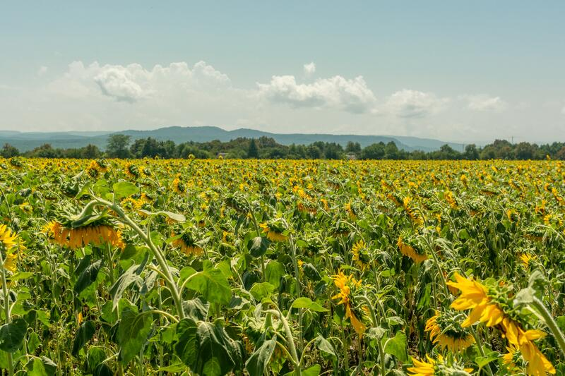 Field of sunflowers with clear blue sky on background stock image