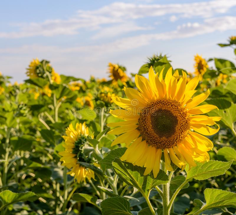 Field of sunflowers . Close up of sunflower against a field.  stock images