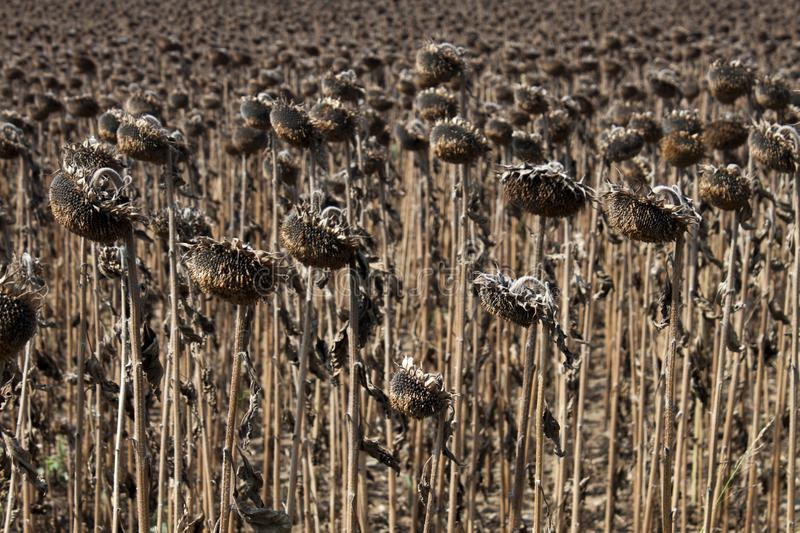 Download Field of sunflowers stock image. Image of botany, arid - 110576049