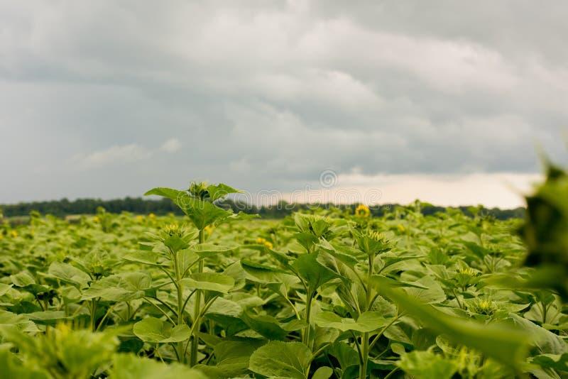 Field of sunflowers. stock photos