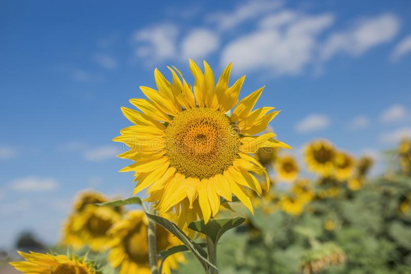 Field with sunflowers, in the foreground sunflower close-up next to him a couple of sunflowers, the rest of the royalty free stock photos
