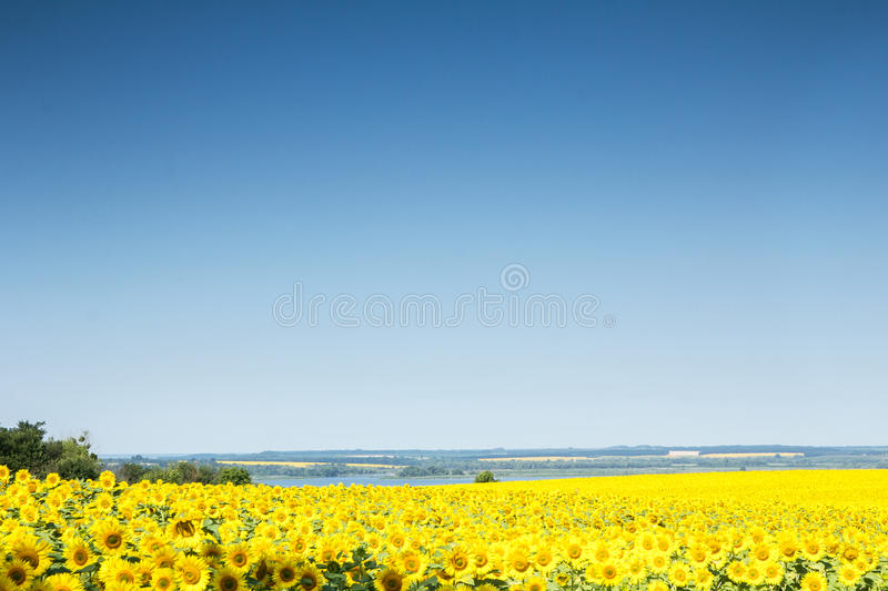Field with sunflowers stock image