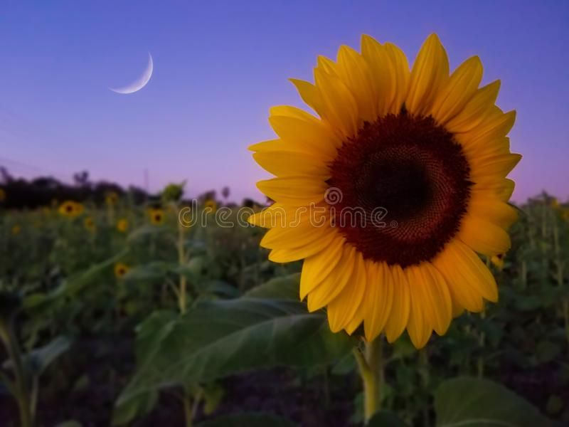 Sunflower and the moon at dusk. Field of Sunflowers and the moon on a purple sky at dusk royalty free stock images