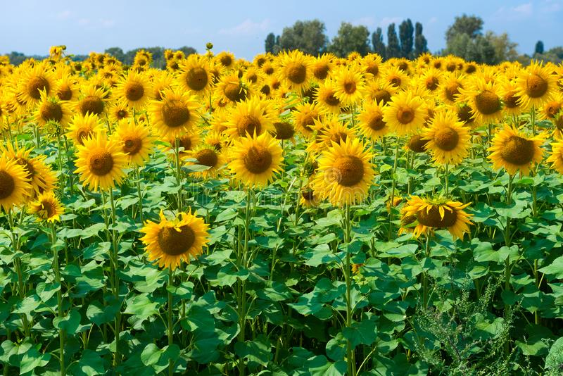 Field of sunflowers. Sunflowers natural background, Sunflower yellow blooming royalty free stock photography