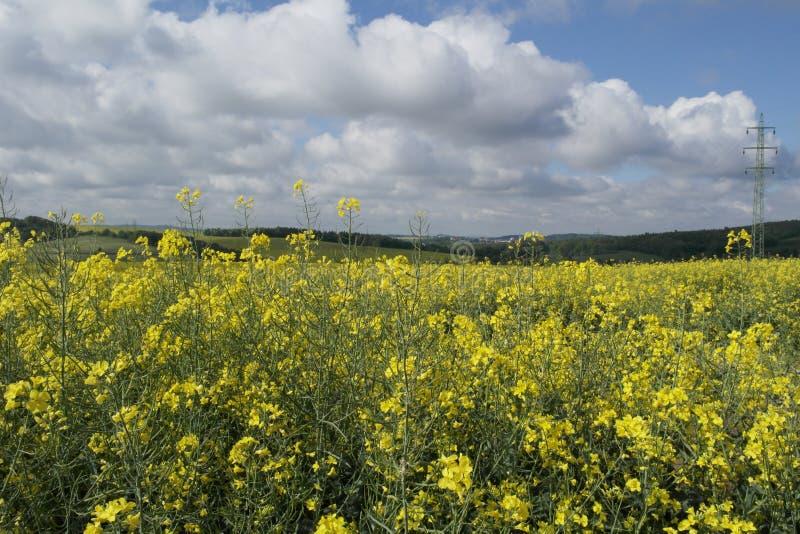 Field Of Sunflowers Stock Image