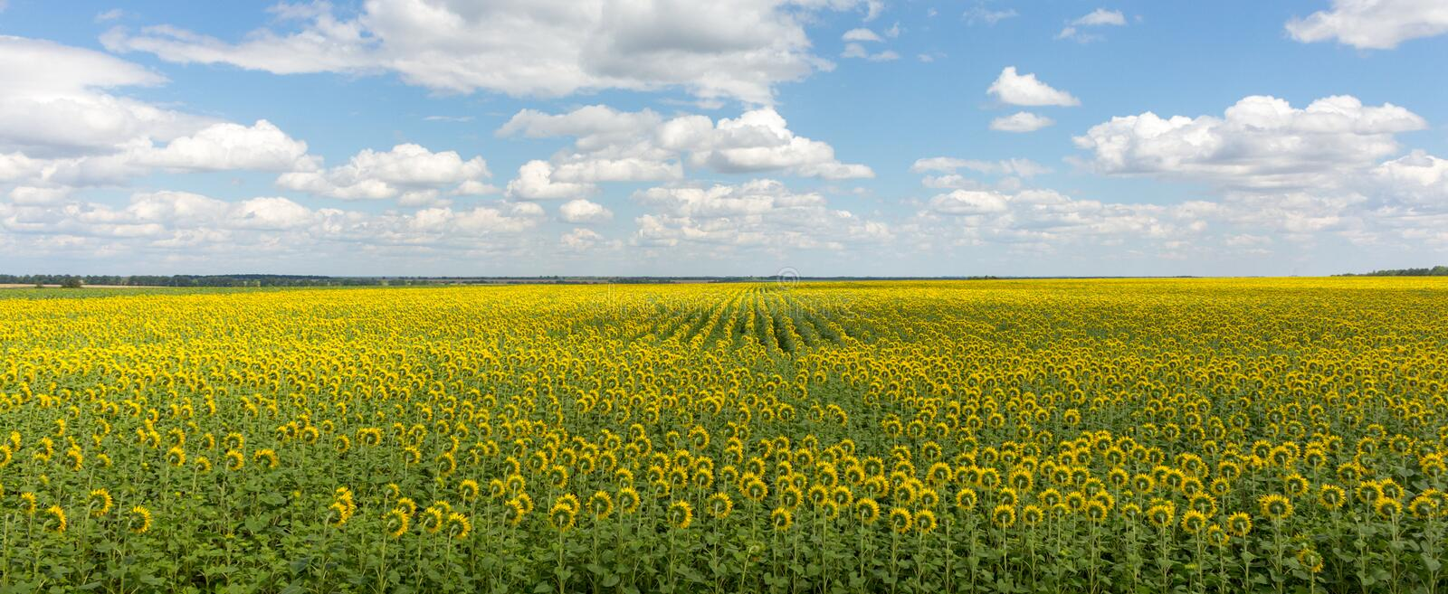 Field of sunflowers panorama landscape. Bright blooming sunflowers meadow against blue sky with clouds. Sunny summer landscape. royalty free stock photos