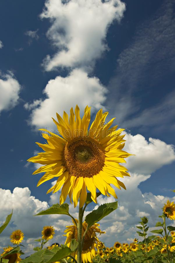 Field of sunflowers with sky and clouds. stock image