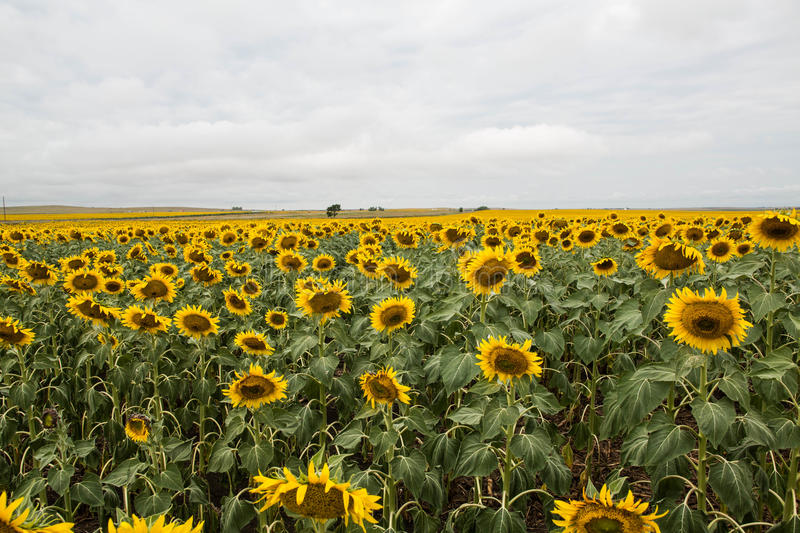Field Of Sunflowers In South Dakota Stock Photo Image Of