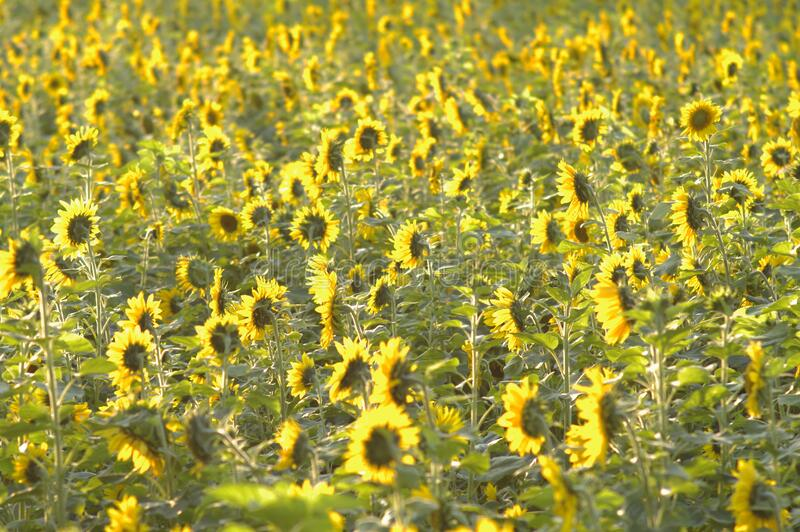 Field Of Sunflowers Free Public Domain Cc0 Image