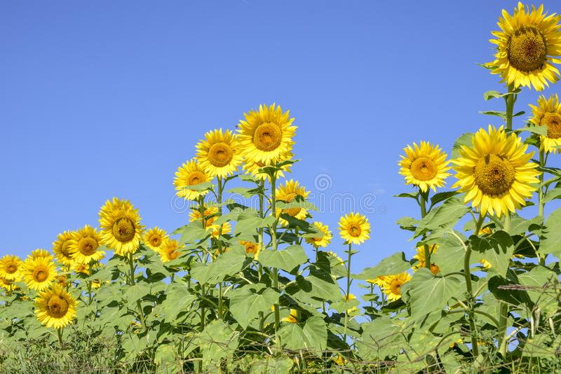 Field of sunflowers on a sunny day with blue sky.  stock image