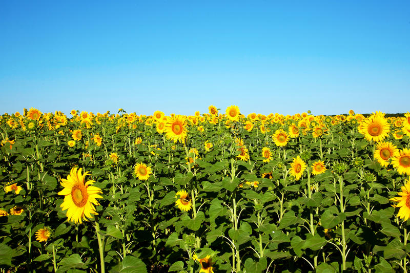 Field of sunflowers in sunny summers day. Field of sunflowers on a background of blue sky in sunny summers day stock photos