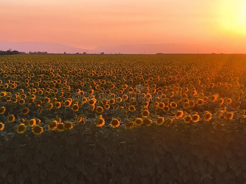 A field of sunflowers at sunset. A field of sunflowers are highlighted in the golden rays of the sun stock image