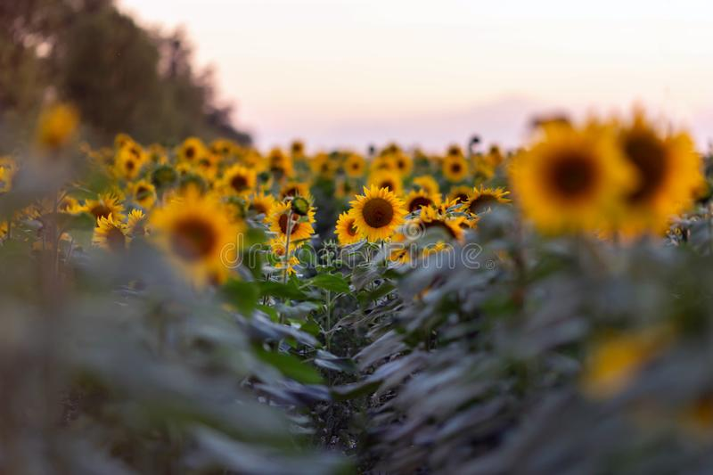 Field of sunflowers. In sunset light royalty free stock images