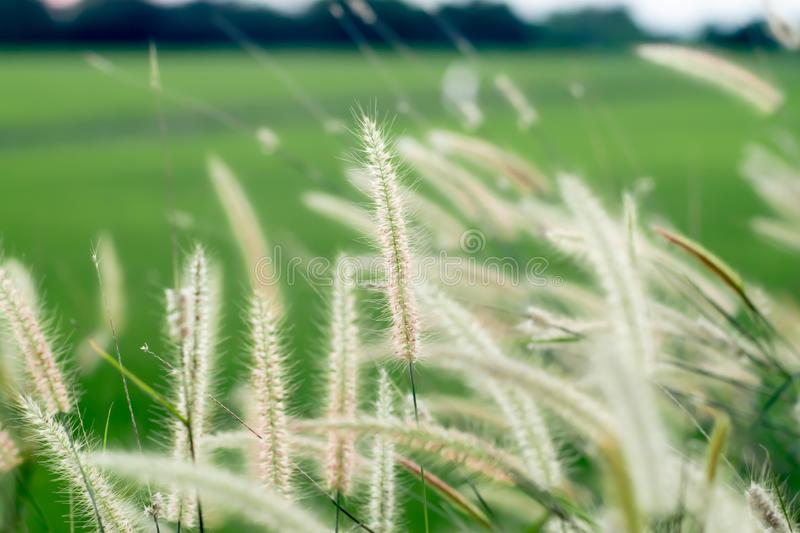 The field of tall wild grass nature background at beautiful blur green meadow stock images