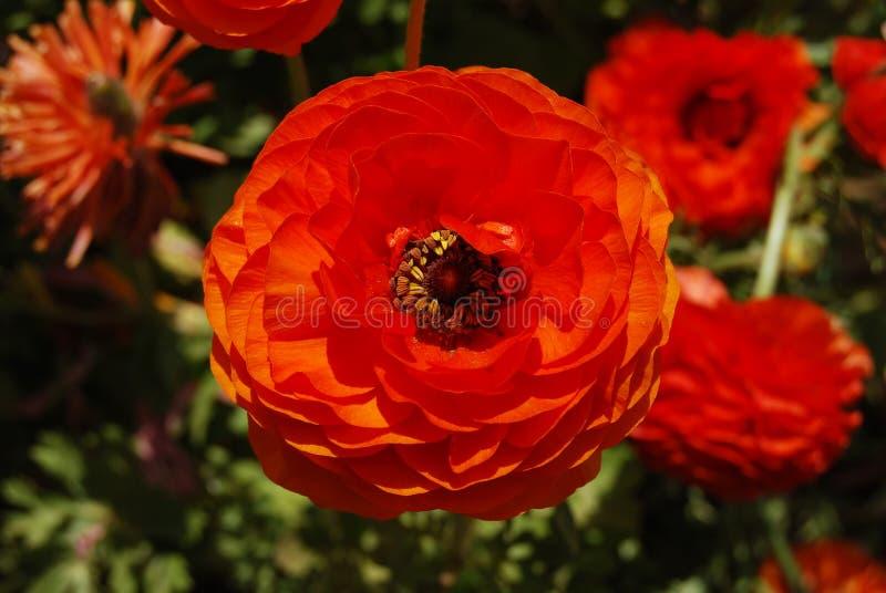 field tecolote ranunculus цветков померанцовое стоковые изображения rf