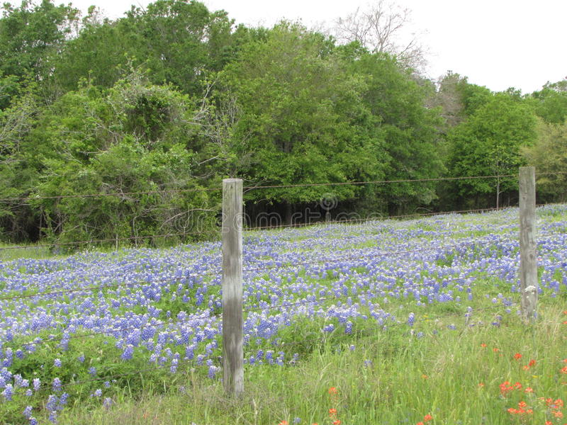 Field of Texas bluebonnets royalty free stock image