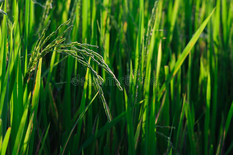 field thailand stock images