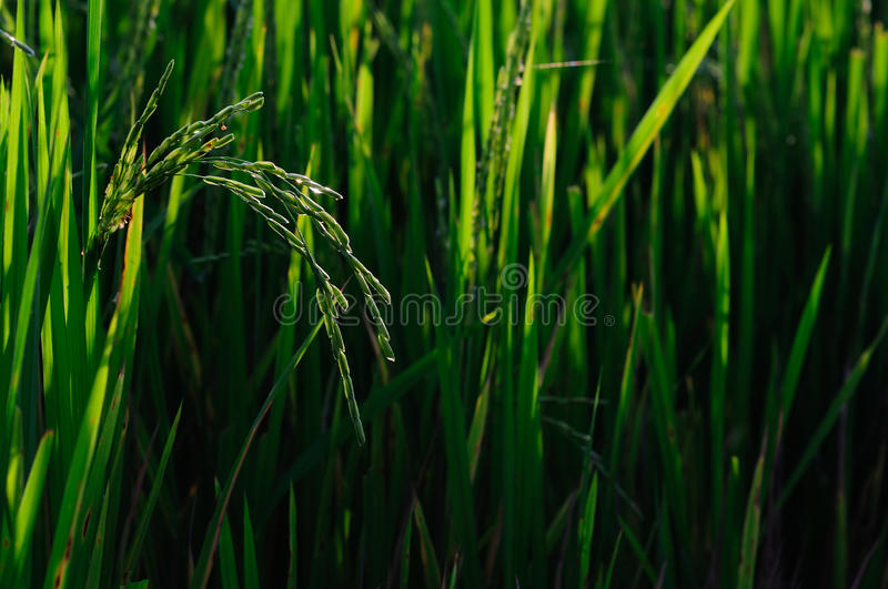 field thailand royalty free stock photography