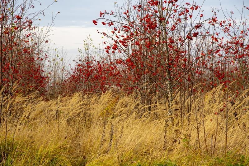In the field there are red rowans, around Golden ears, all this against the background of a cloudy sky royalty free stock photo