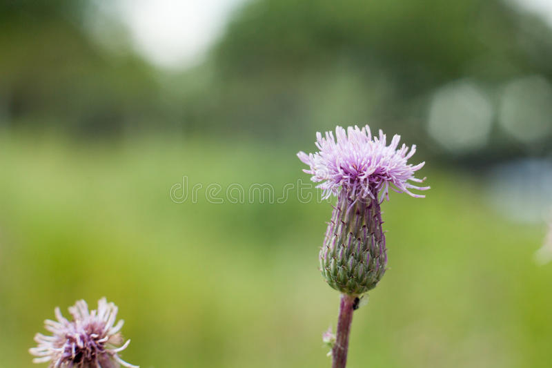 Field thistle and blooming pink flower. stock image