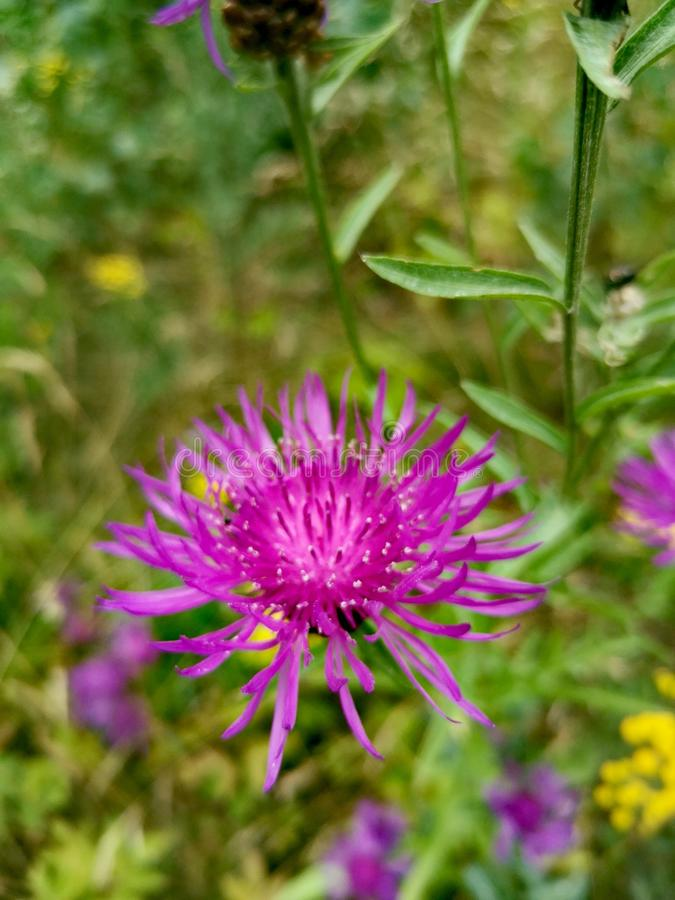 Field thistle (cirsium arvense). Field thistle ( ). field thistle ( ). field thistle ( ). dav, autumn, lilac, bloom stock photography