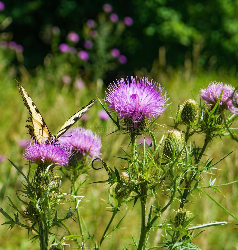 Field Thistle Wildflowers and a Eastern Tiger Swallowtail Butterfly stock photos