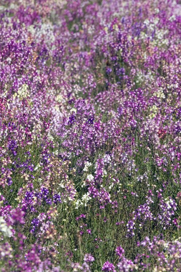 Field of Toadflax / Spurred Snapdragon flowers stock photos