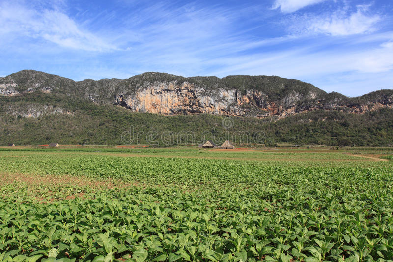 Download Field Of Tobacco Plantation In Vinales, Cuba Royalty Free Stock Photo - Image: 13876085