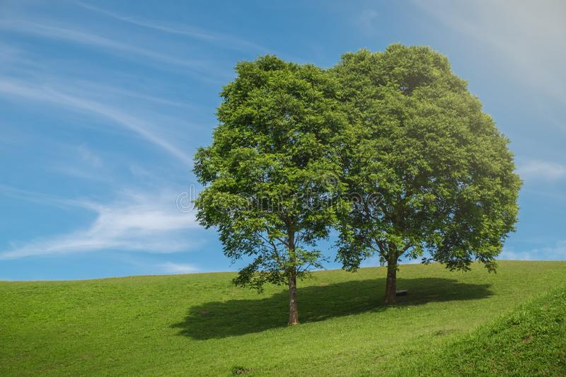 Couple tree and field. Field,tree and blue sky background royalty free stock image