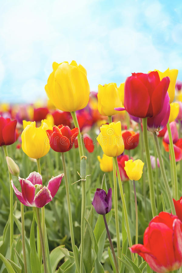 Download Field Of Tulip Flowers Against Blue Sky Stock Photos - Image: 27225863