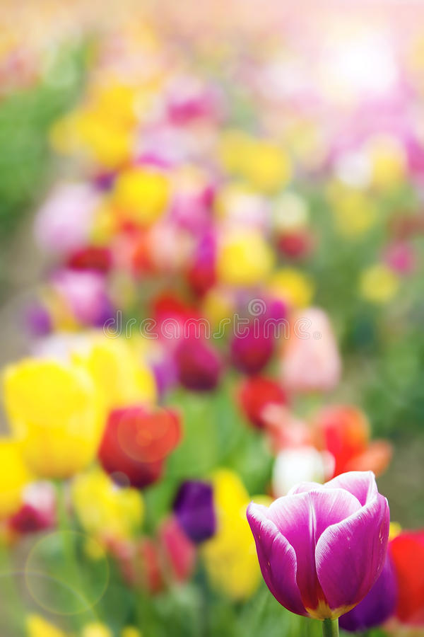 Field of Tulip Flowers with Defocused Background. Field of Colorful Tulip Flowers in Spring Season with Defocused Blurred Background royalty free stock image