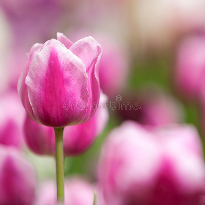 Field of purple tulip royalty free stock photography