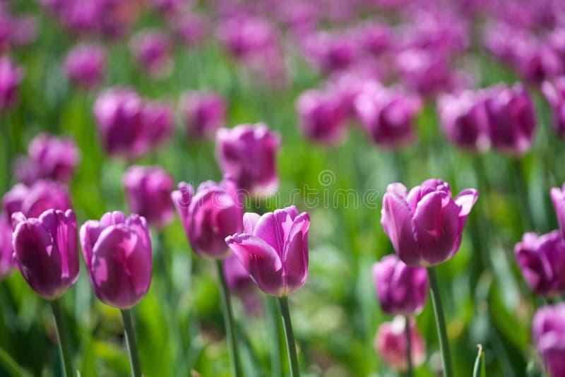 Download Field of tulips stock photo. Image of macro, nobody, leaf - 22916102