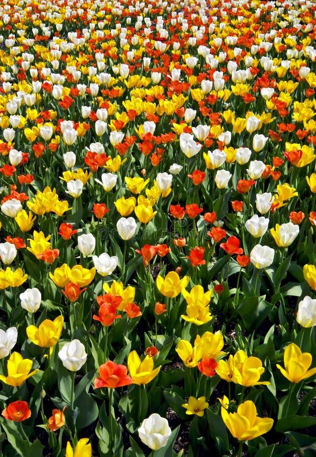 Field of tulips in bloom stock photo