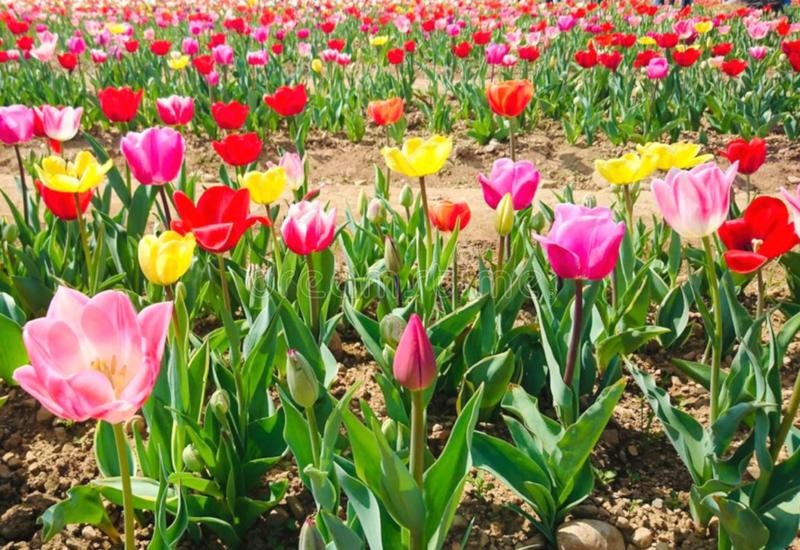 A field of tulips in bloom royalty free stock photography