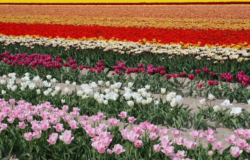 Flowerfields in rainbow colors, flowerculture in Dutch Noordoostpolder,Netherlands royalty free stock images