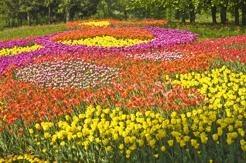 Field of tulips of different colours royalty free stock images