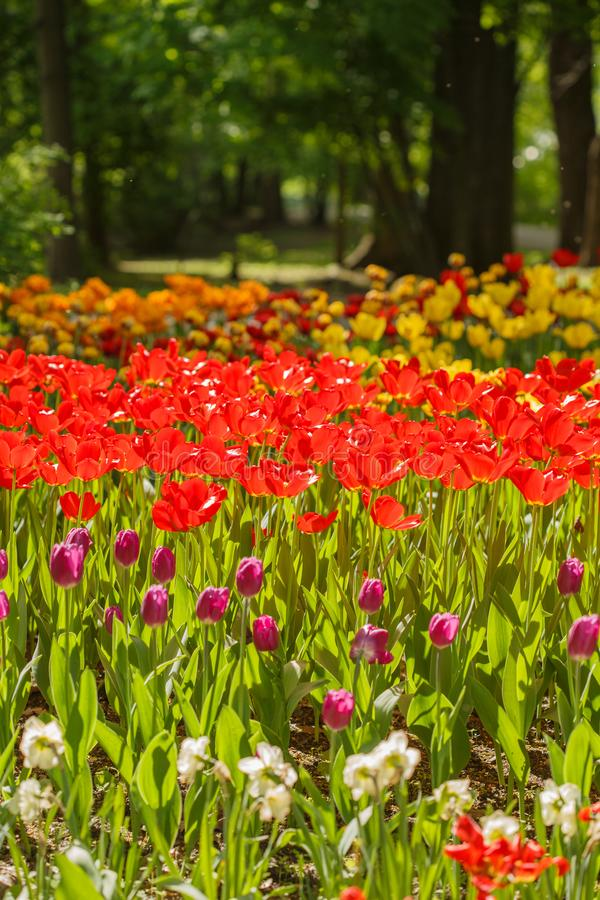 Field of tulips flowers royalty free stock images