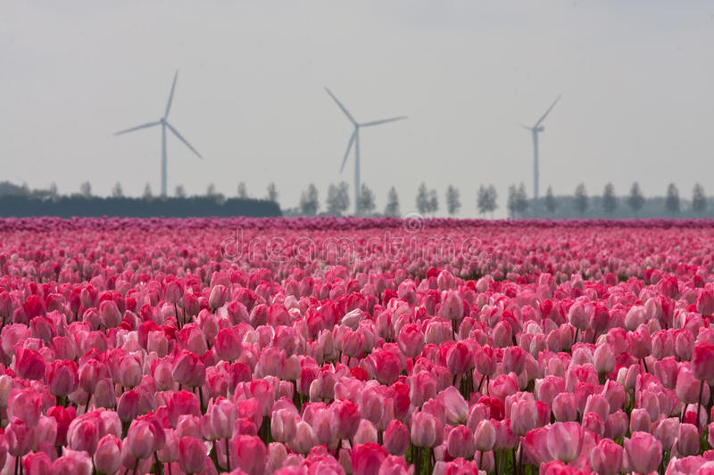 Field with tulips in Holland stock photo