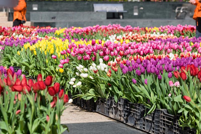A field of Tulips - Orange with Yelllow Accents, Yellow, Purple, Red, White, Pink, Multi-color stock photo