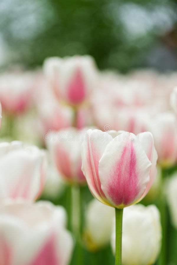 Field of white tulips royalty free stock photos