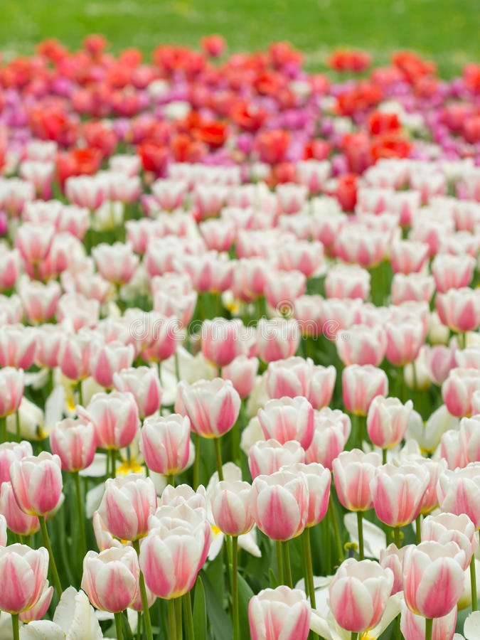 Field of white tulips stock images