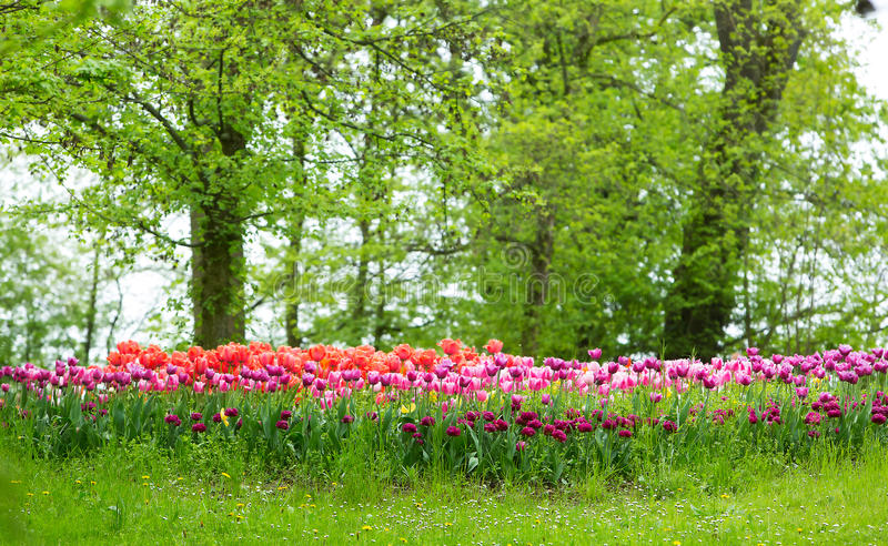 Field of purple tulips royalty free stock photo