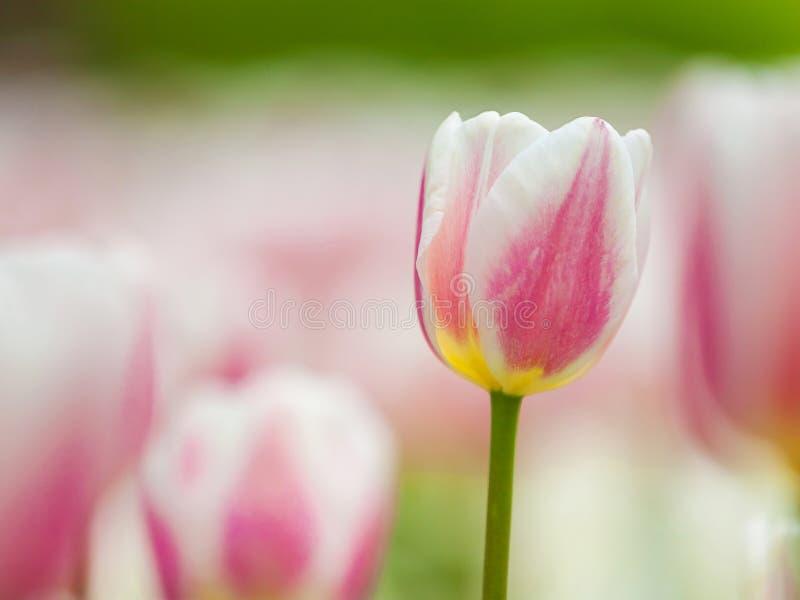 Field of white tulips stock photos