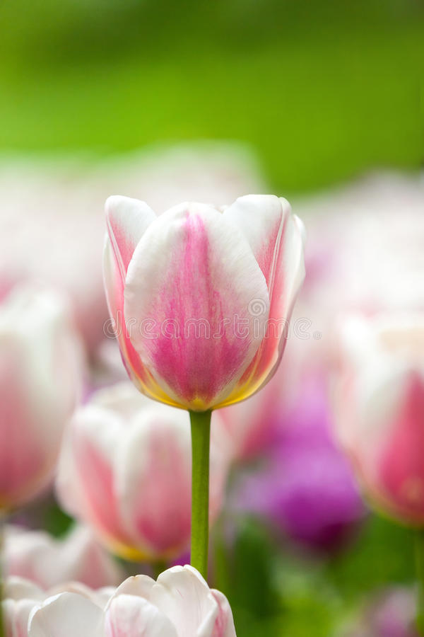 Field of white tulips royalty free stock images