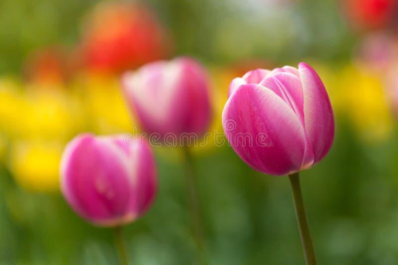 Field of purple tulips royalty free stock photos
