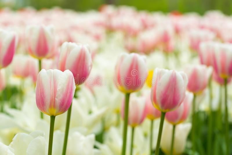 Field of white tulips stock photo