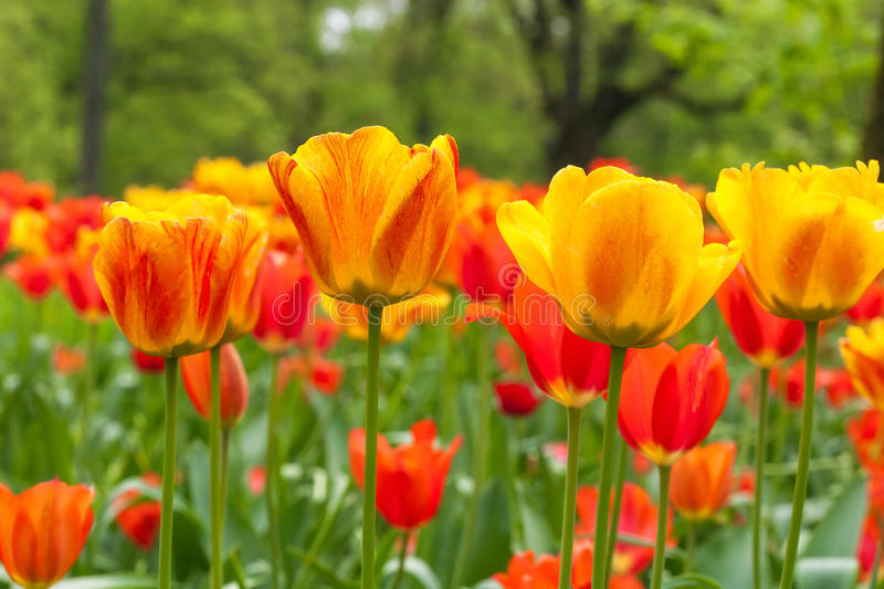 Field of orange tulips royalty free stock photography